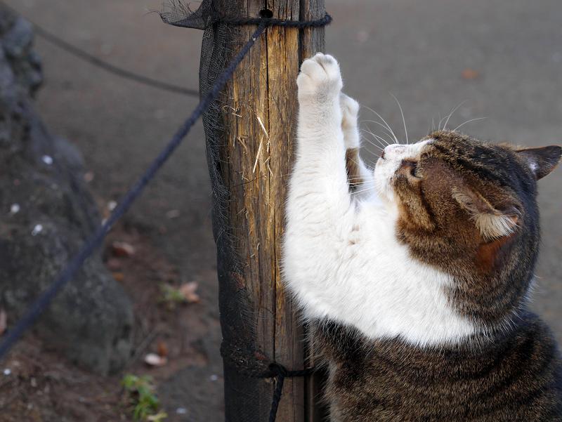 杭で爪を研ぐキジ白猫3