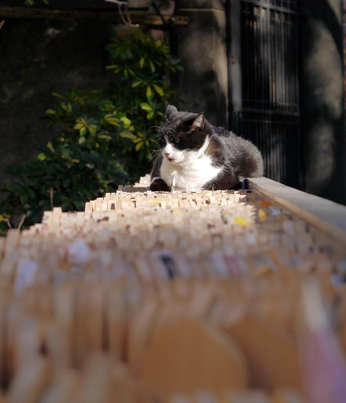 卒塔婆に乗ってる黒白猫1
