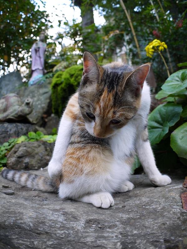 若手の三毛猫1