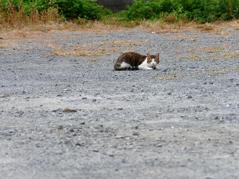 朝の空き地のキジ白首輪猫1