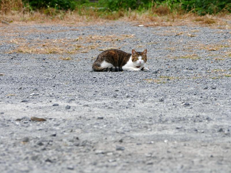 朝の空き地のキジ白首輪猫2