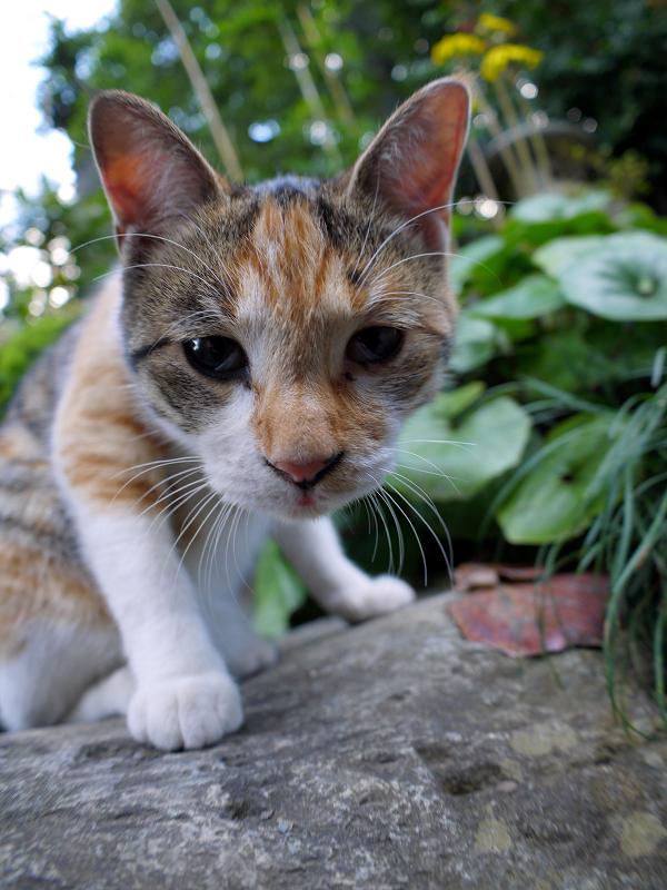 若手の三毛猫3