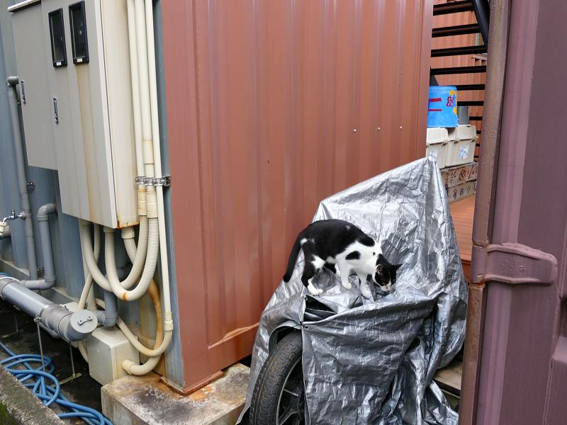 バイクカバーと黒白猫1