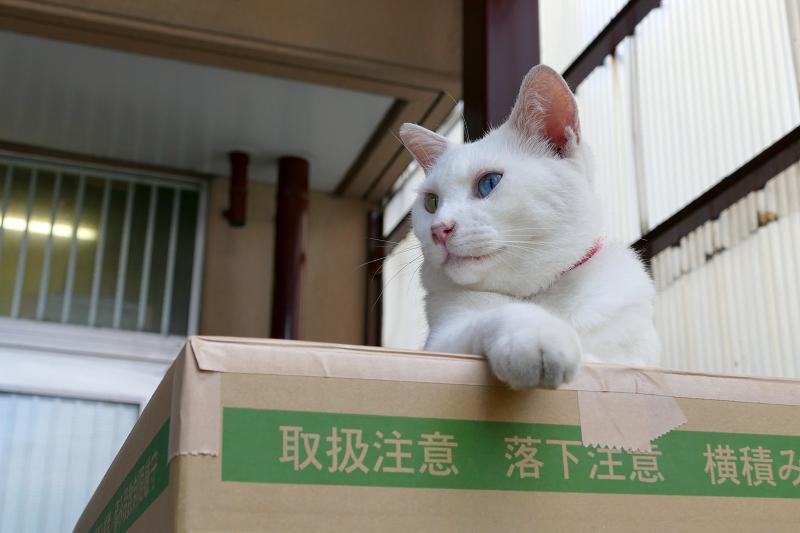 段ボール箱の白猫2