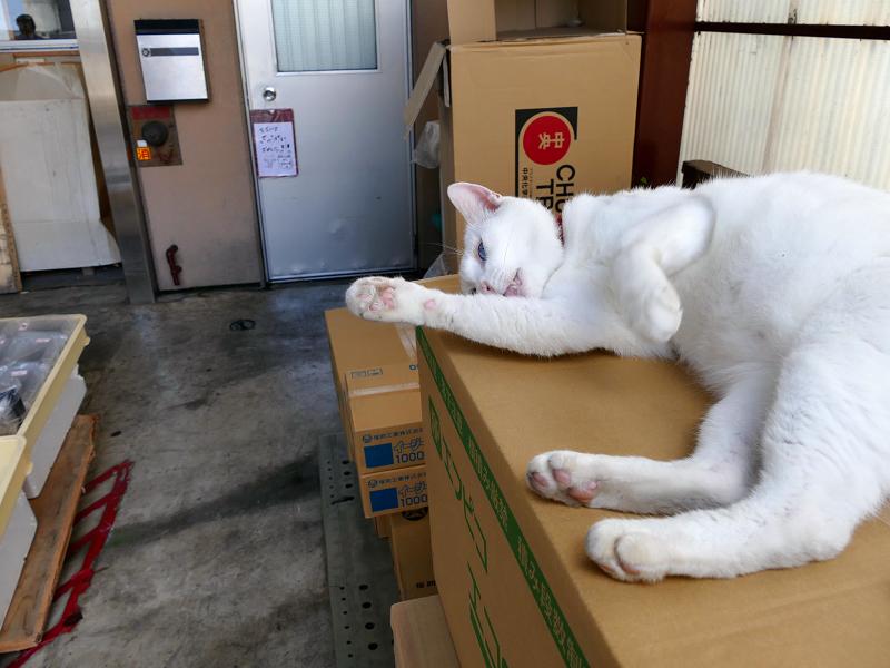 段ボール箱の白猫3