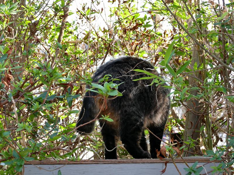 茂みから出て来た毛が長い猫3
