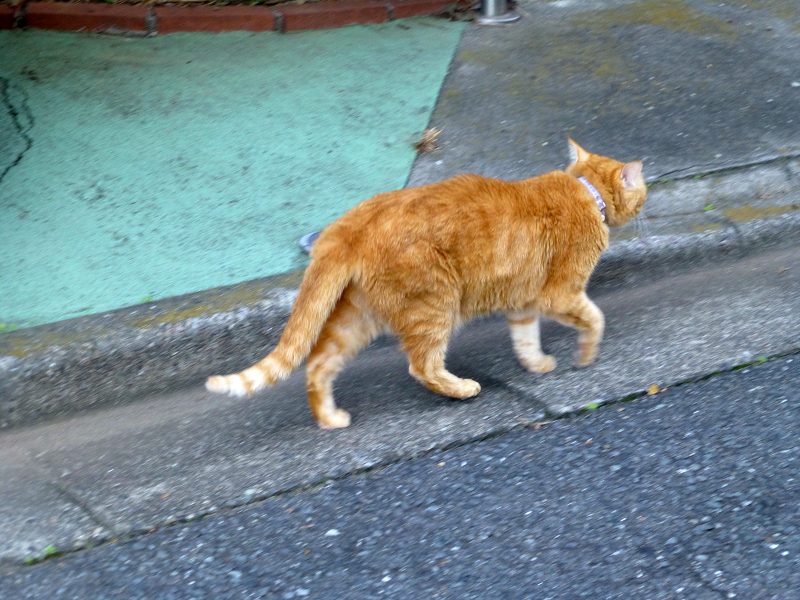 通り過ぎて行く茶トラ猫3