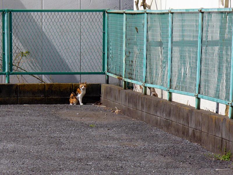駐車場の隅っこの三毛猫1