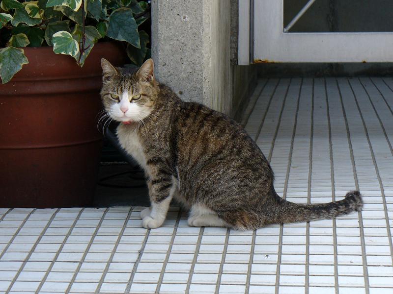 タイルの上のキジ白猫2