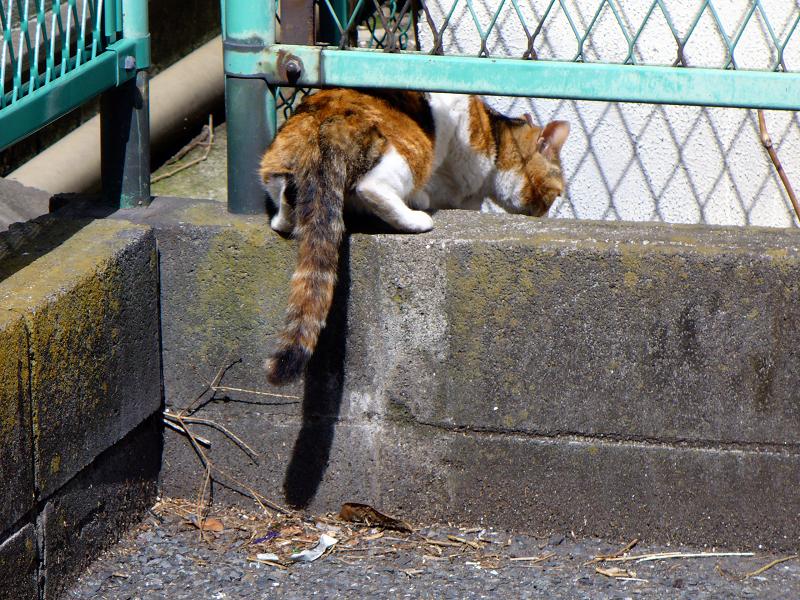 駐車場の隅っこの三毛猫3