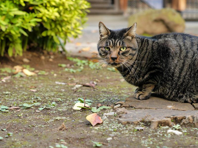 落ち着いてきたキジトラ猫1