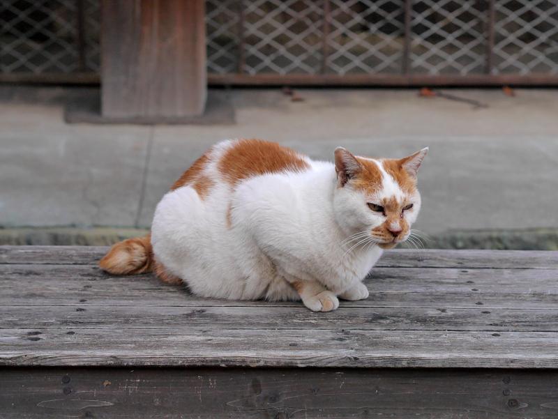 ベンチで待つ白茶猫1