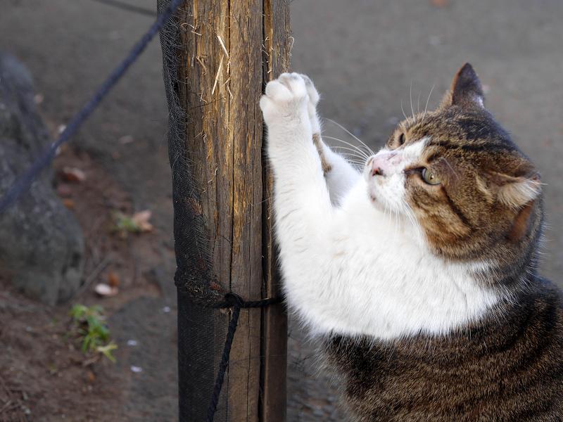 杭で爪パッツンのキジ白猫1