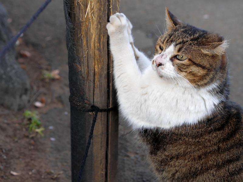 杭で爪パッツンのキジ白猫2
