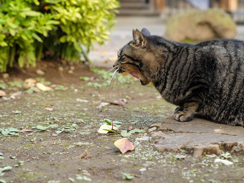 落ち着いてきたキジトラ猫3