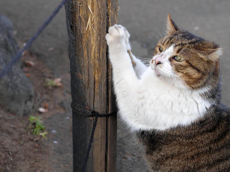杭で爪パッツンのキジ白猫3