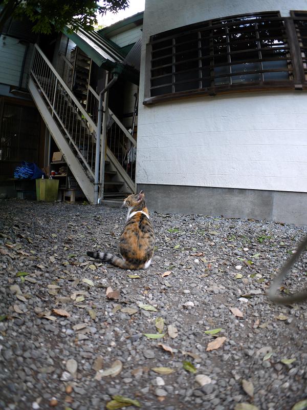 三毛猫の背中と後ろ姿1