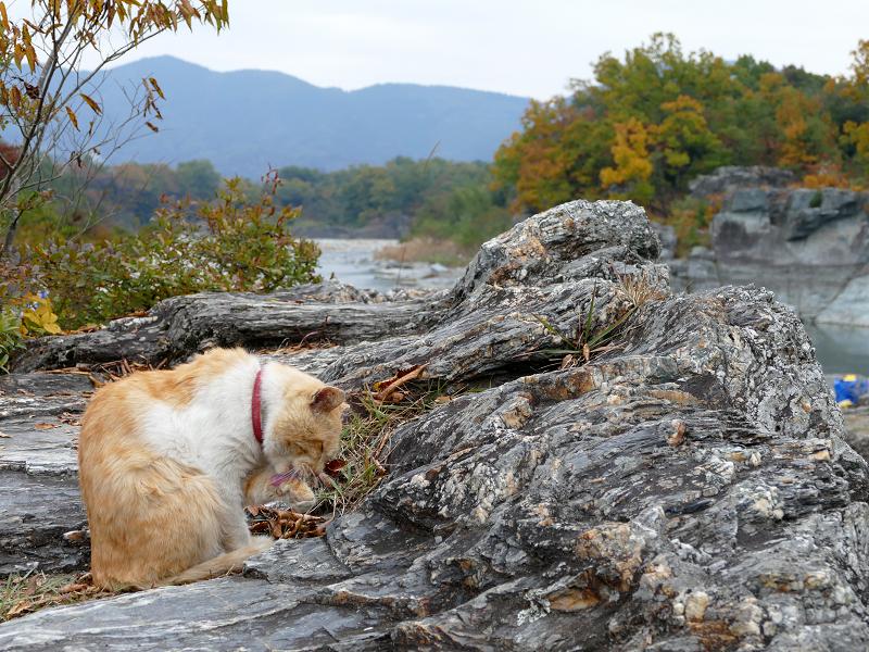 川原岩場の茶トラ猫1