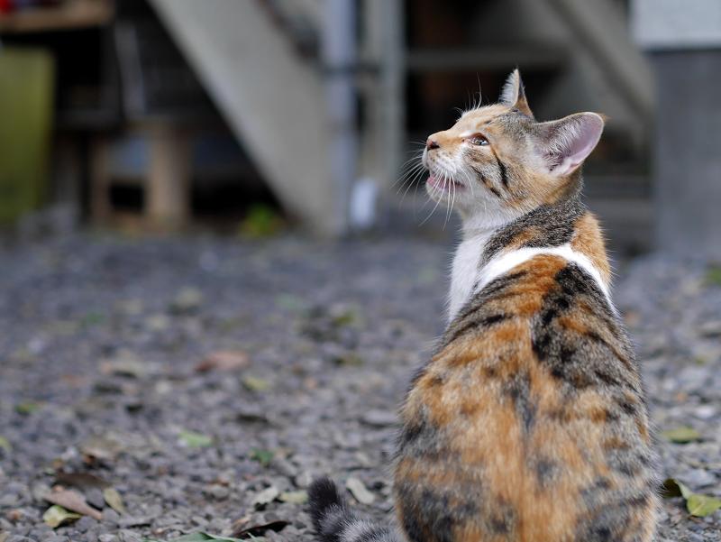 三毛猫の背中と後ろ姿2