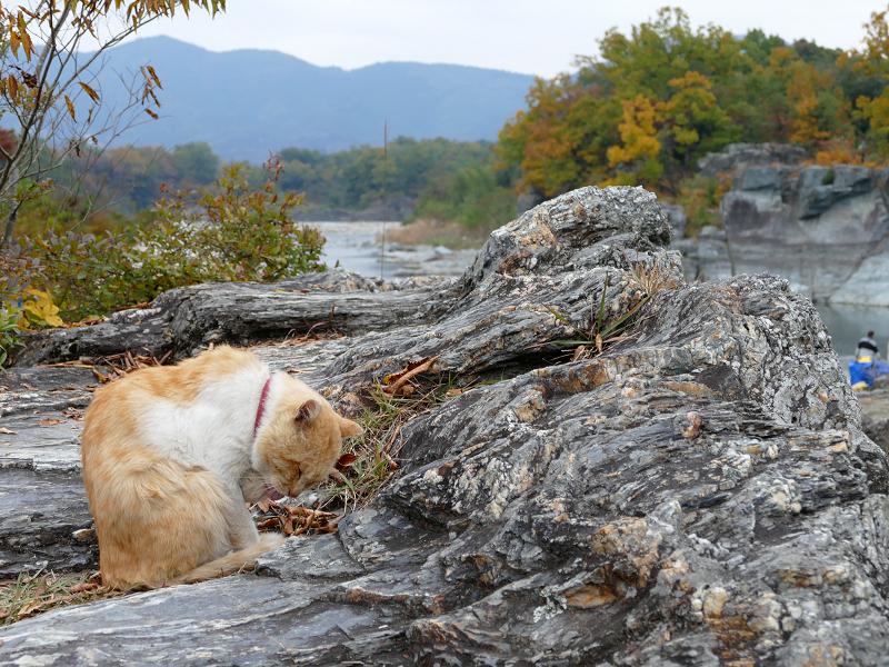 川原岩場の茶トラ猫2