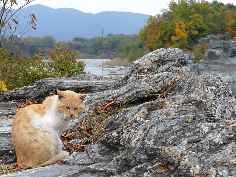 川原岩場の茶トラ猫3