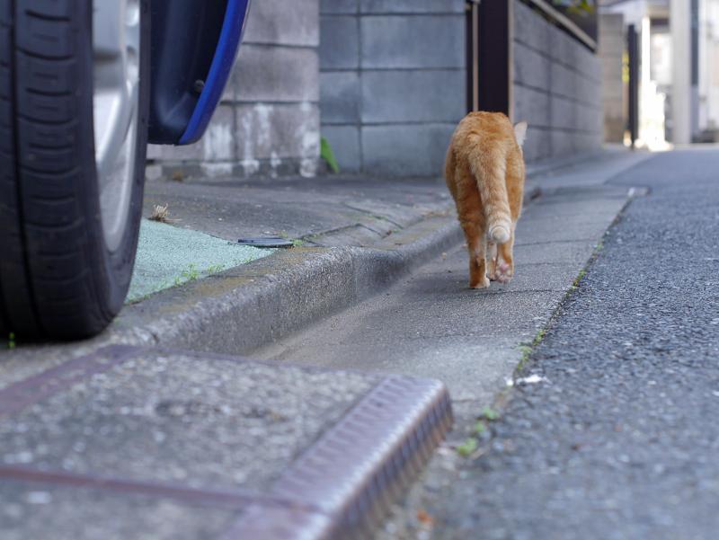 歩く茶トラ猫の後ろ姿1