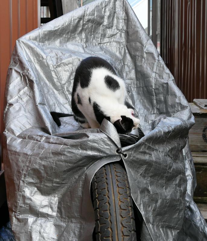 シルバーのバイクカバーと黒白猫1