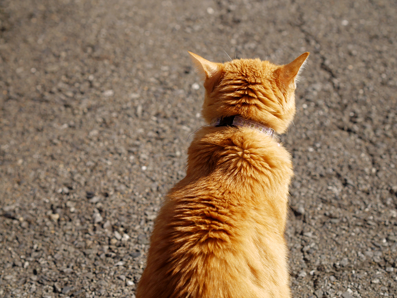 歩く茶トラ猫の後ろ姿2