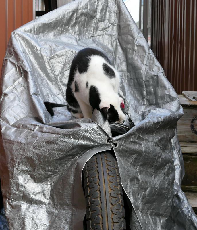 シルバーのバイクカバーと黒白猫2