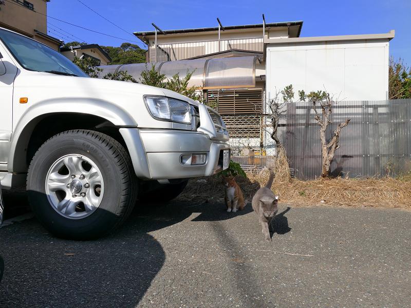 歩み寄ってくるグレー猫2