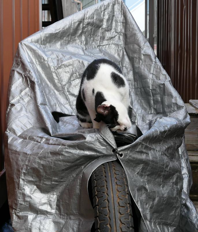 シルバーのバイクカバーと黒白猫3