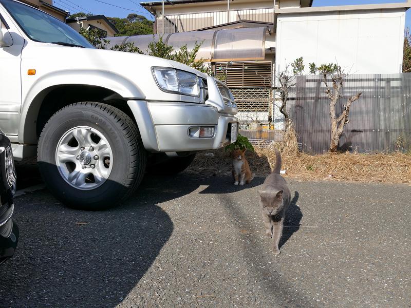 歩み寄ってくるグレー猫3