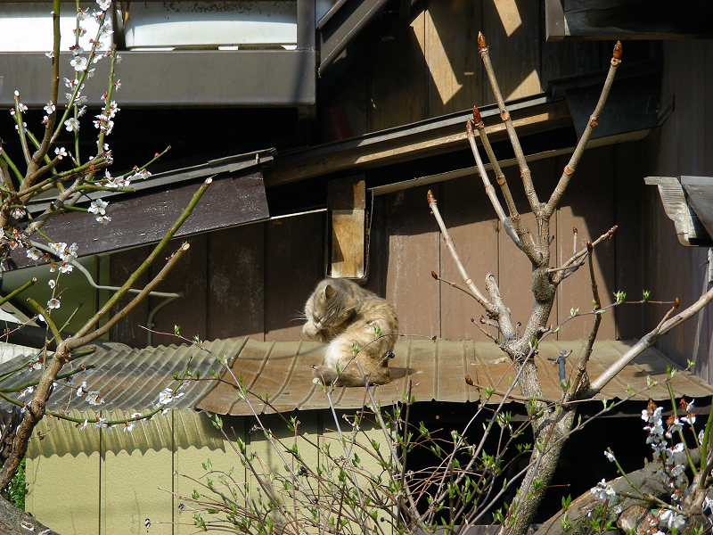 小屋の屋根の猫1