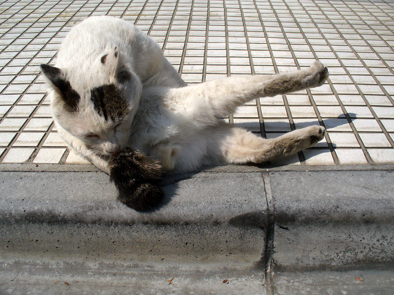 体を捻って毛づくろい中の白キジ猫1