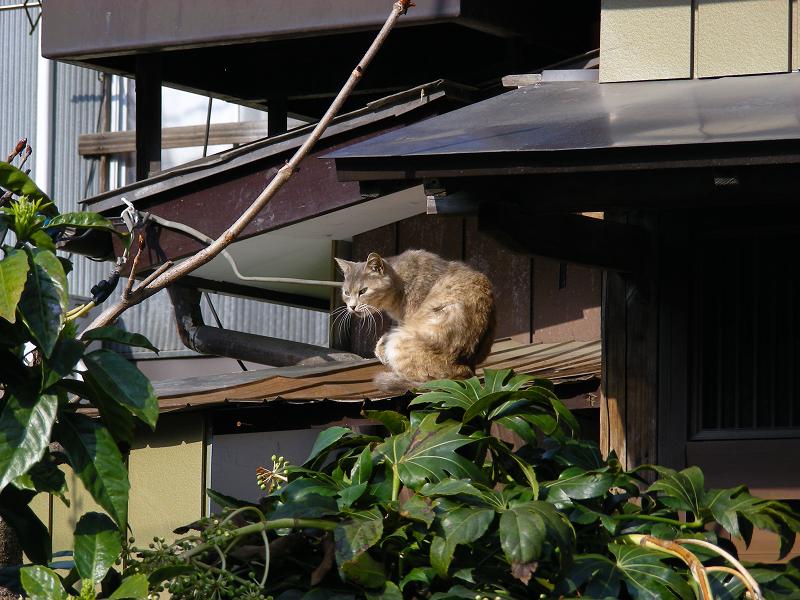小屋の屋根の猫2