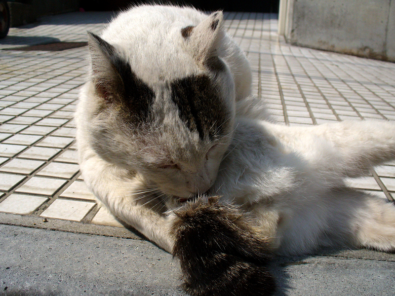 体を捻って毛づくろい中の白キジ猫2