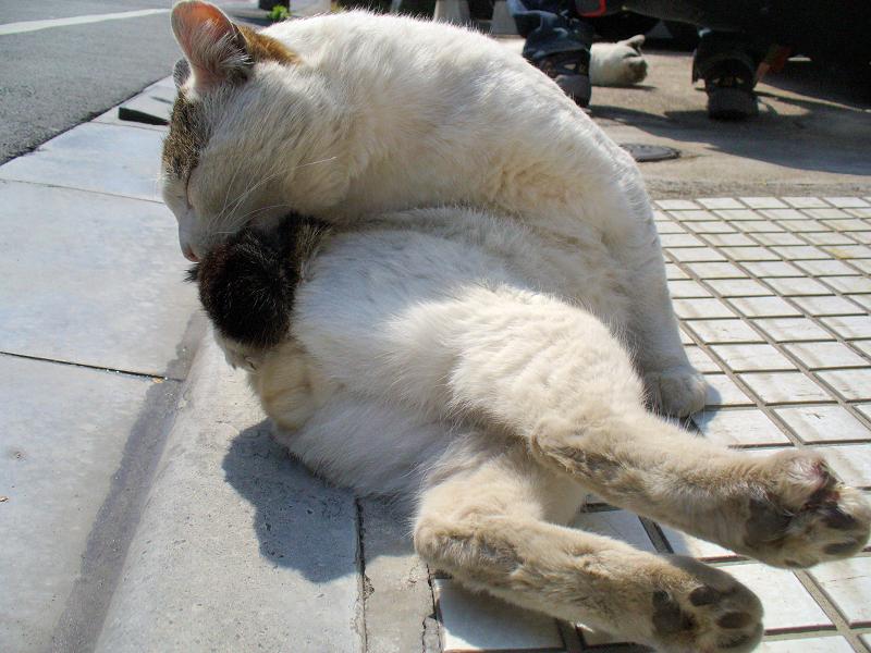 体を捻って毛づくろい中の白キジ猫3