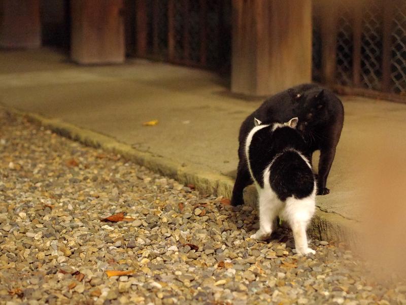 夜の境内で睨み合ってる猫たち1