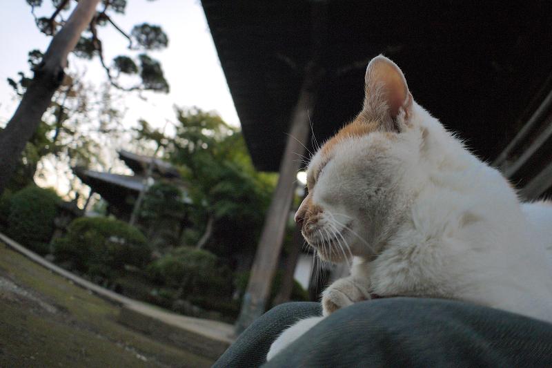 膝で瞑想する茶白猫2