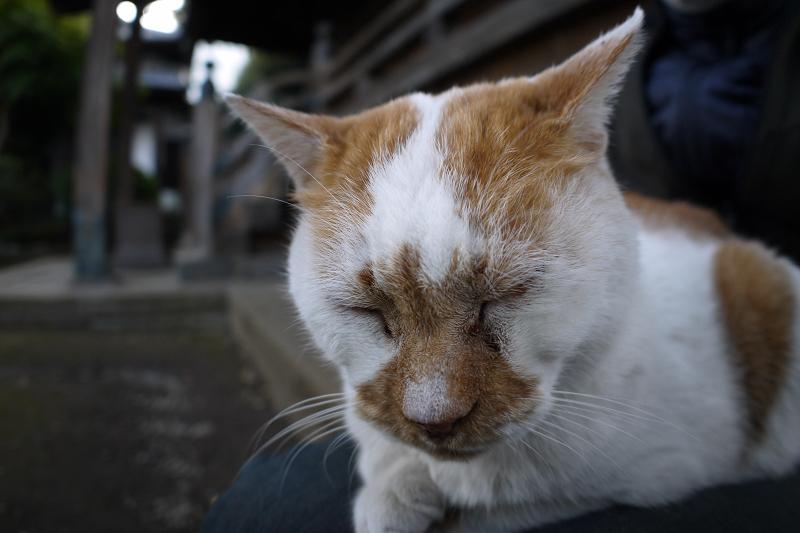 膝で瞑想する茶白猫3
