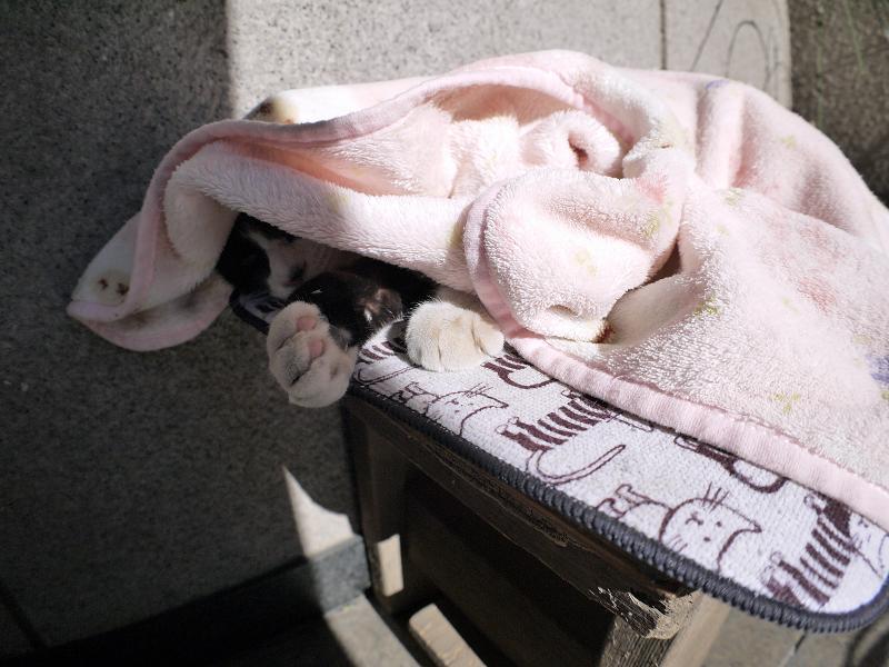 毛布を被ってる黒白猫1