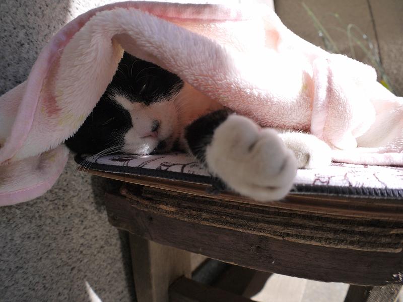 毛布を被ってる黒白猫2