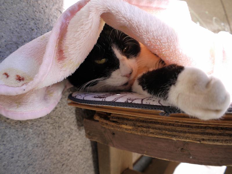 毛布を被ってる黒白猫3