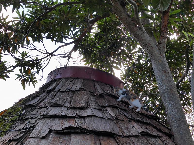屋根に登った若手の三毛猫1