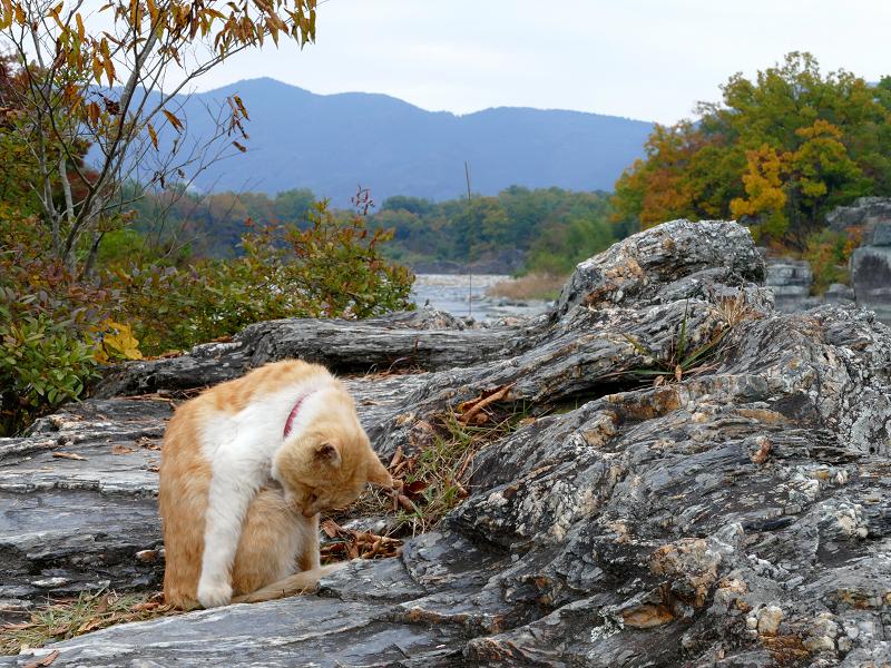 河原岩場の茶トラ猫1