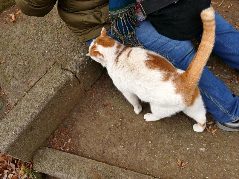 尻尾を立てて歓迎の白茶猫1