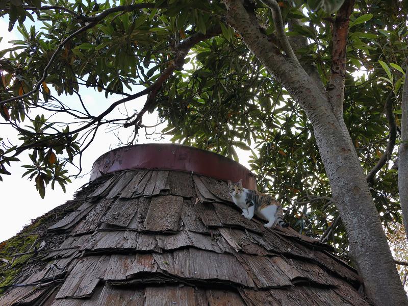 屋根に登った若手の三毛猫2