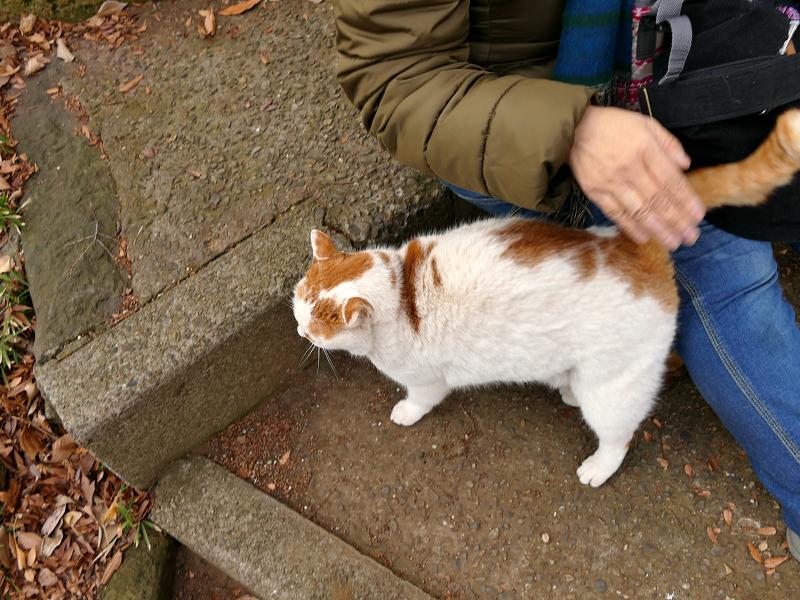 尻尾を立てて歓迎の白茶猫2