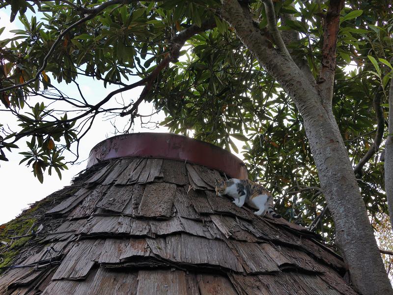 屋根に登った若手の三毛猫3