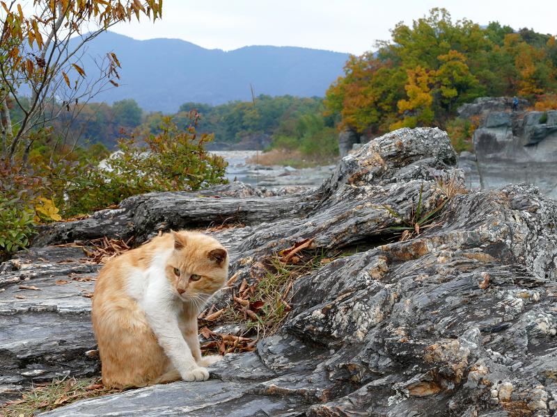 河原岩場の茶トラ猫3